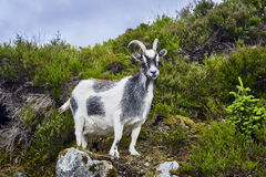 Free Goat Portrait, Norway, Goat Posing For Pictures Royalty Free Stock Images - 76039159