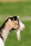 Goat portrait  over green background Royalty Free Stock Photography