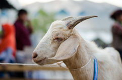 The Goat Portrait Royalty Free Stock Photo