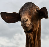 Goat. A portrait of a smiling goat face Stock Images