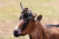 Goat portrait. Goat taken in El Dorado, CA Stock Photo