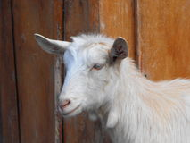 Goat. Portrait of a white goat Royalty Free Stock Photography