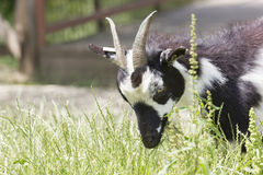 Goat portrait. White and black goat grazing, on a romanian farm Stock Images