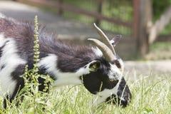 Goat portrait. White and black goat grazing, on a romanian farm Stock Image
