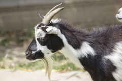 Goat portrait. White and black goat portrait, on a romanian farm Stock Images