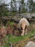Goat in Portugal royalty free stock photo