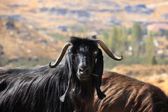 Goat Posing Royalty Free Stock Photography