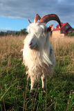 Goat on the green meadow Royalty Free Stock Photos
