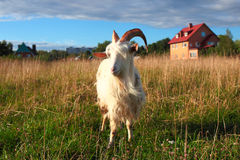 Goat on the green meadow Stock Photography