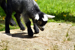 Goat posing Royalty Free Stock Photo