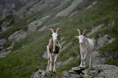 Male goat twins. Two male goat with horn stand up the rocks royalty free stock photos