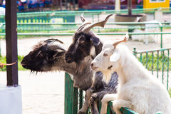 The goat Stock Images