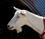 Goat profile Royalty Free Stock Photo