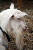 Goat profile Royalty Free Stock Image