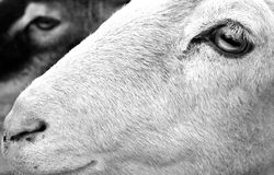 Goat Profile. In black and white Royalty Free Stock Photos