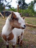 Goat Profile Stock Photo