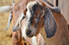 Goat. Profile picture of a northern farm goat Royalty Free Stock Photos