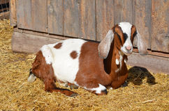Goat. Profile picture of a northern farm goat royalty free stock photography