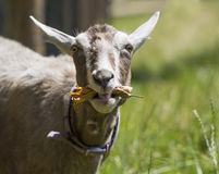 Goat pulling a funny face while eating. Stock Photo