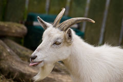 Goat pulling tongues Royalty Free Stock Images