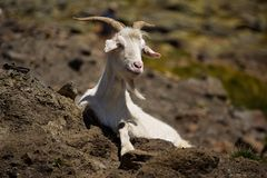 Goat in the Pyrenees stock images