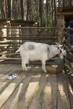 Agriculture goat in the pen stock photos