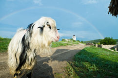 Goat in the rainbow Royalty Free Stock Photos