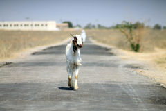 Goat in Rajasthan. Goat reaching way at the village in Rajasthan Royalty Free Stock Photography