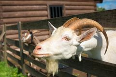 Goat reaches for Royalty Free Stock Image