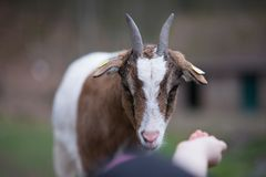 Goat reaching for food waiting to be fed Royalty Free Stock Image
