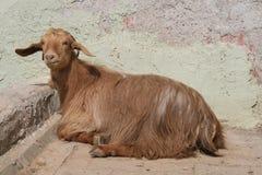 Goat. Reclining goat in the village of tacir, iznik, turkey royalty free stock photos