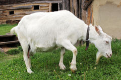 Goat. In a reconstructed slavic village from the early middle ages (Czech Republic Royalty Free Stock Photography