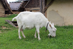 Goat. In a reconstructed slavic village from the early middle ages (Czech Republic Stock Photos