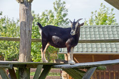 Goat. Recording a curious goat in nature Royalty Free Stock Photos