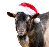 Goat in a red hat looking at camera on white background Stock Image