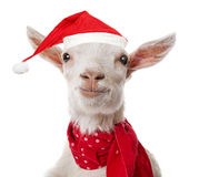 Goat with a red santa cap stock photo