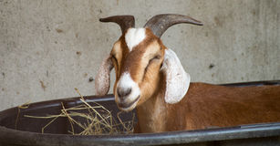 Goat Relaxes. A Goat Relaxes in a Tub Royalty Free Stock Photography