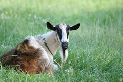 Goat relaxing on pasture Stock Photos