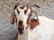 Goat relaxing Stock Photos