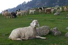 Goat resting Stock Images