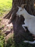 Goat resting against tree Royalty Free Stock Photography