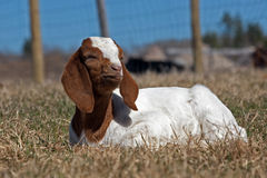 Goat Resting Royalty Free Stock Photography