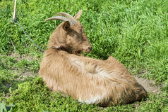 Goat resting Stock Image