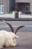 Goat resting head on a street. Small white furry goat with big horns resting its head on the street in a small irish town Sneem, Ireland Stock Images
