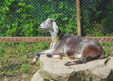 Goat resting on a rock in enclosure in sunlight. Gray goat on a rock relaxing in the sun into enclosure with green trees Royalty Free Stock Photos