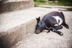 Goat resting at staircase Stock Photography