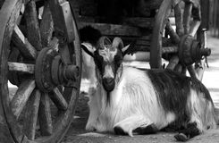 Goat resting under old cart Stock Photos