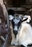 Goat resting under old wooden cart Stock Photography