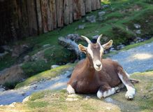 A Goat Rests. At a wildlife park in New Zealand stock photos