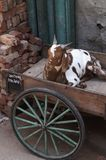 Goat in Rickshaw Royalty Free Stock Images